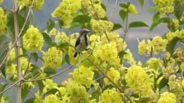 Purple sunbird - male