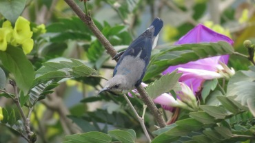 Purple sunbird - male